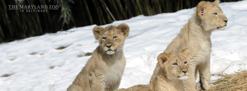 Lion Cubs at the Maryland Zoo - (cool) progeny