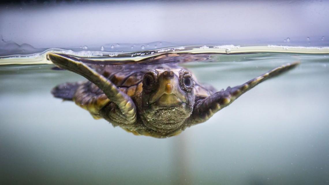 Help name the new loggerhead at the National Aquarium! - (cool) progeny