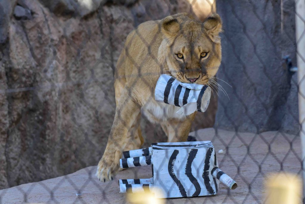 Zuri with an enrichment item - The Maryland Zoo