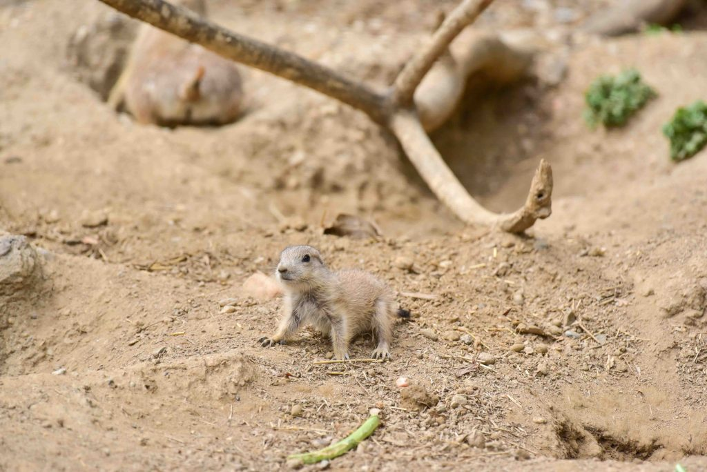 Prairie Dog Pup at The Maryland Zoo