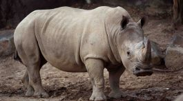 Stubby the Rhino - Image provided by Maryland Zoo