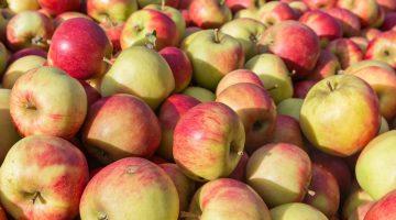 Apple Picking Near Baltimore