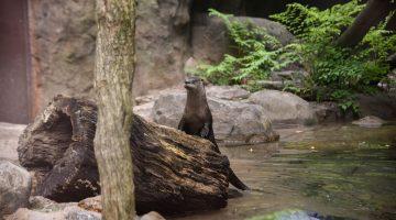 Maryland Zoo Otters